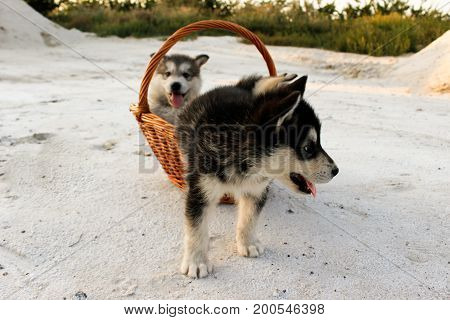 Puppies of Alaskan malamute close-up in a basket among sand in summer
