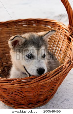 Puppy Alaskan malamute close-up in a basket among sand in summer