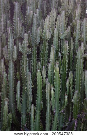 Cactus Plants At Garden