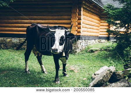 close up photo of white black cow with bell