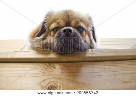 Close up og Tibetan Spaniel dog resting head lying on a wooden plank. The Tibetan Spaniel is originating over 2,500 years ago in the Himalayan mountains of Tibet.