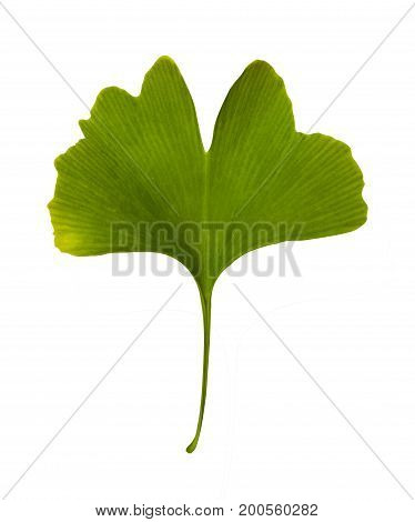 Ginkgo Biloba Isolated. Green Leaf Medicinal Plant On White Background