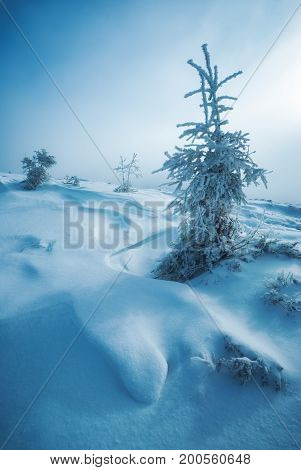 Fir Trees Covered With Hoar Frost