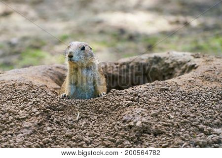 Watchful prairie dog in front of his earth hole