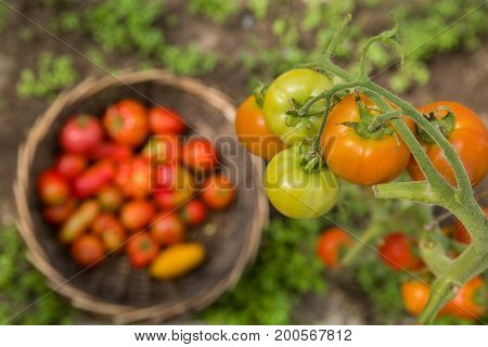 Top view on bunch of fresh organic tomatoes over big basket with vegetables in the garden. Picking Tomatoes. Vegetable Growing. Gardening concept