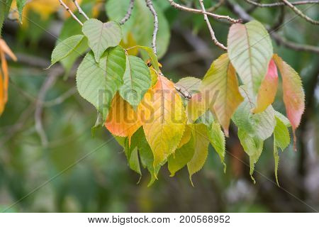 Autumn leaves changing color with the season for Fall
