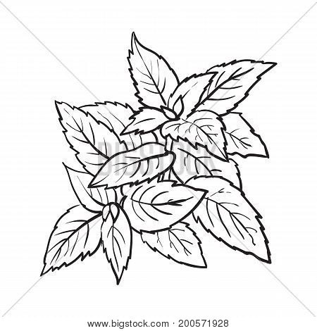 mint herbs ingredients, black and white outline sketch style vector illustration on background. Realistic hand drawing of mint leaves with space for text.