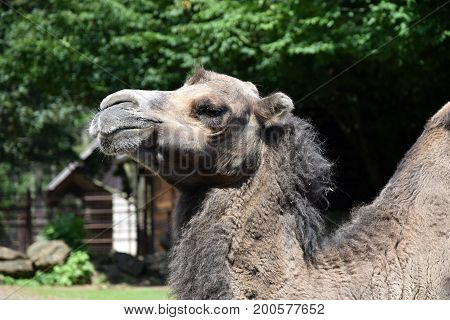 Camel head detail. Dromedary farm animal. Camel.