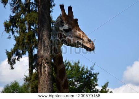 Giraffe. Detail of a giraffe head at a tree trunk