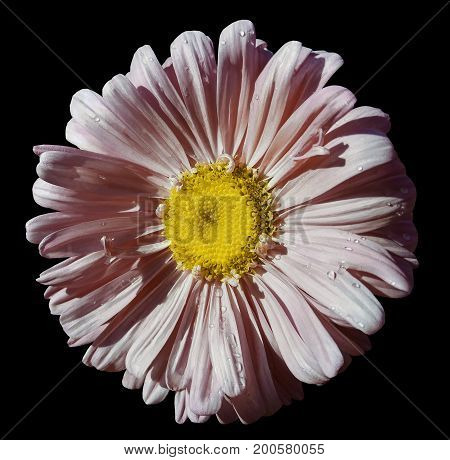 Flower light pink Chamomile on black isolated background with clipping path. Daisy pink-yellow with droplets of water for design. Closeup. Nature.