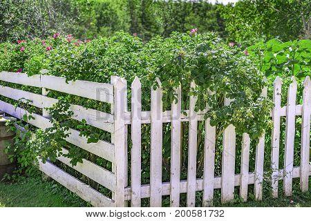 Beautiful Garden Of Abundant Flowers Growing Over White Picket Fence