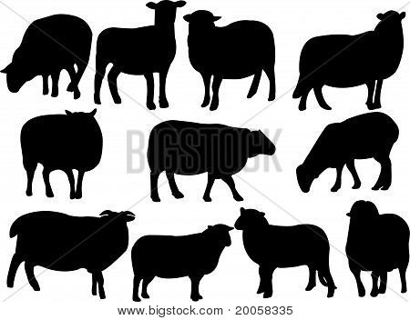sheeps collection
