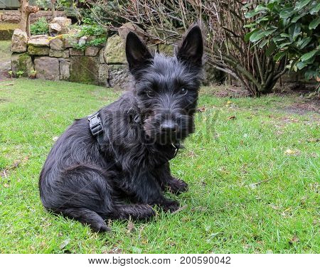 Scottish terrier puppy dog sitting in a back yard garden looking forward.