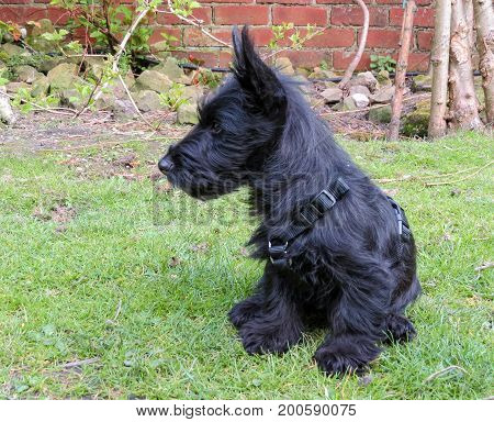 Scottie dog puppy sitting on lawn showing profile looking at something in the distance. Little black pedigree puppy wearing a harness.