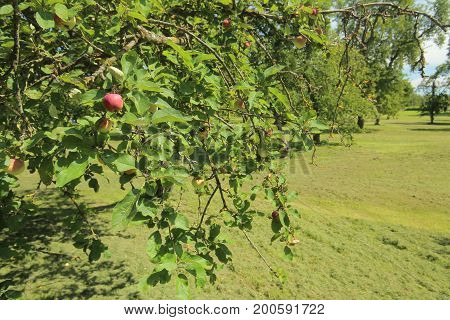 Apple Orchard Located In Luessow, Mecklenburg-vorpommern, Germany