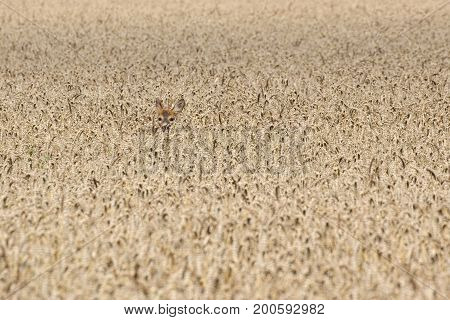 Roe deer (Capreolus capreolus) hiding in grain field.