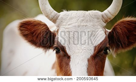 Muzzle of a cow white with red spots on a pasture.