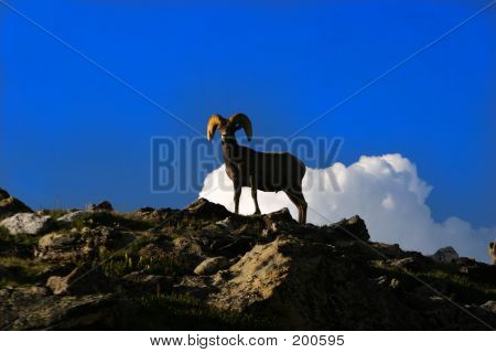 Ram On Mtn Top At Rocky Mtn