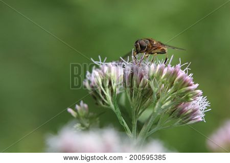 Eristalis Tenax, Also Known As The Drone Fly, On Hemp-agrimony