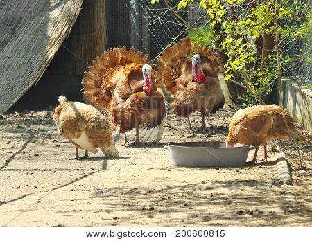 Funny turkeys in zoological garden