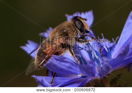 Hoverfly sitting on a purple chicory flower. Animals in wildlife.