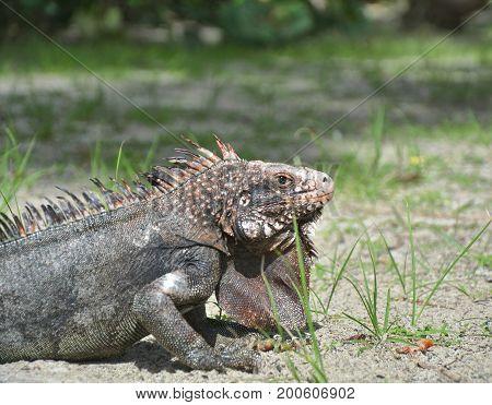 Iguana on Magens Bay beach in Saint Thomas US Virgin Islands