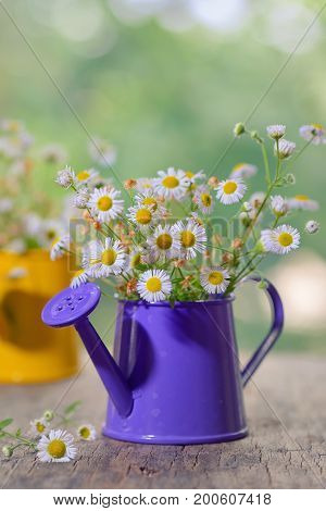 Marguerite Daisy Flowers in small bucket, close up