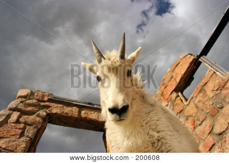Young Mtn Goat On Building At Mt Evans