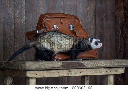 The ferret sitting on a wooden table. Pet animal.