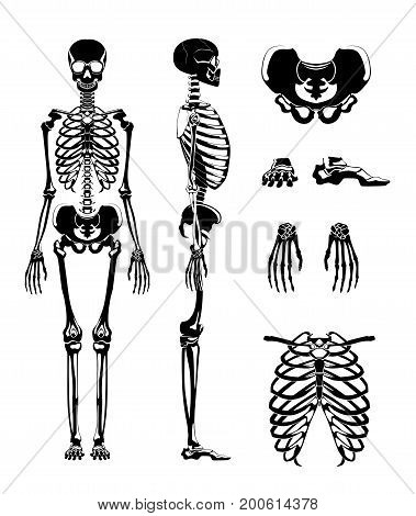 Vector silhouette of human skeleton. Anatomy pictures. Different bones skeleton anatomy, human skull illustration