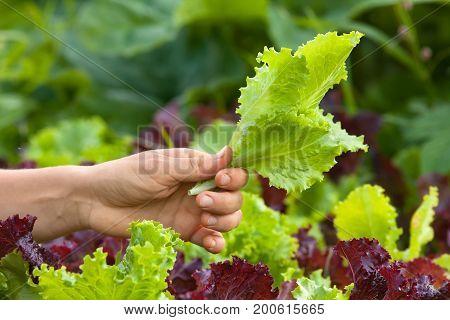 hand of woman picking lettuce in the vegetable garden