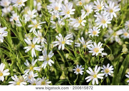 greater stitchwort, stellaria , flowers in forest