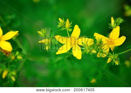 Hypericum Flowers (hypericum Perforatum Or St John's Wort) On The Meadow, Selective Focus