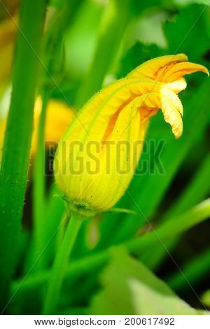 Yellow zucchini flower and green leaves. Close up