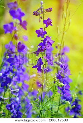 Beautiful Purple Delphinium Consolida (consolida Regalis) On A Nature Background