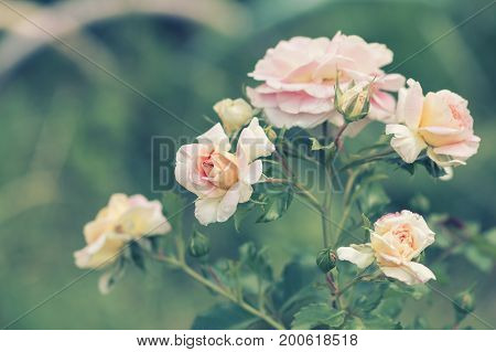A bushy tender rose on a tinted background in the garden. Selective soft focus