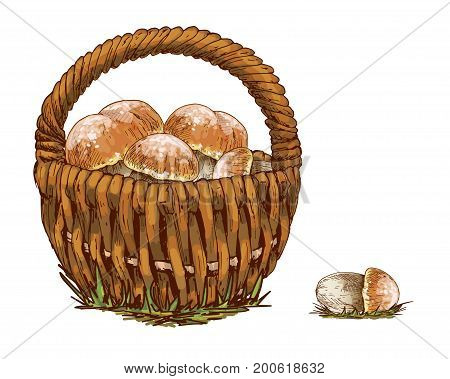 Wicker basket full of orange cap boletus isolated on white background. Vector