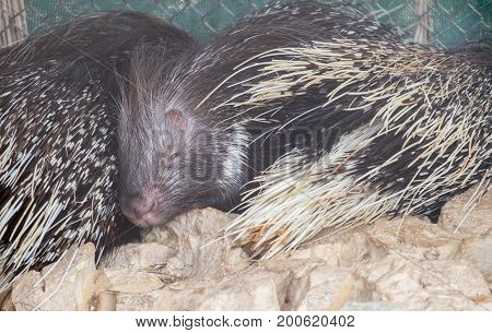 The Family Of Old World Porcupines, Or Hystricidae Sleep At Beer-sheva Zoo. Israel