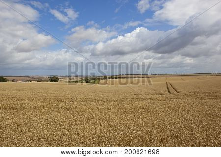 Extensive Ripe Wheat Fields