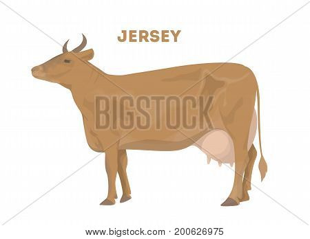 Isolated jersey cow on white background. Farm animal for food and drink.