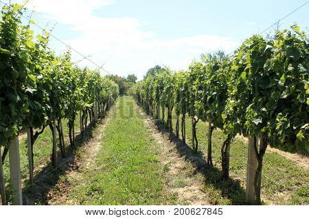 old wineyard on wooden pickets