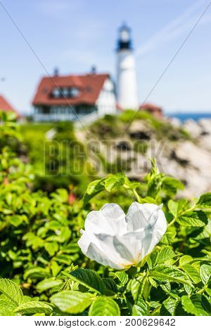 Macro Closeup Of White Ruguosa Rose Rosehip Flower On Bush In Maine With Lighthouse In Background
