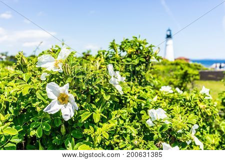Closeup Of Many White Rugosa Rose Rosehip Flower On Bush In Maine With Lighthouse In Background