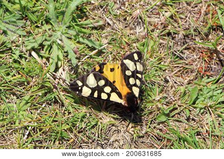 Close-up of cream-spot tiger butterfly landed on the ground