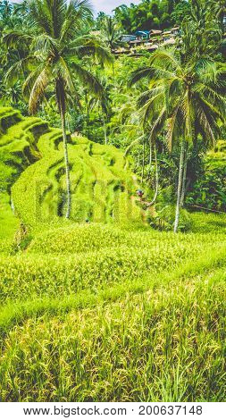 Amazing tegalalang Rice Terrace field with beautiful palm trees growing in cascade, Ubud, Bali, Indonesia.