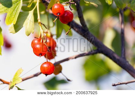 Red currant in the summer garden on a bush shakes the breeze