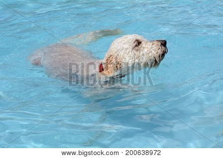White labradoodle dog swimming in swimming pool on hot summer day