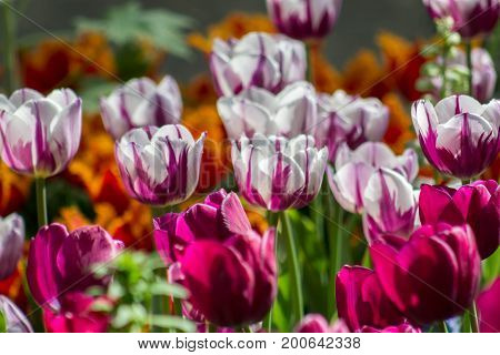 Brilliant vibrant tulip field featuring magenta and white tulips with various other species highlighted by the sun on a spring or summer's day.
