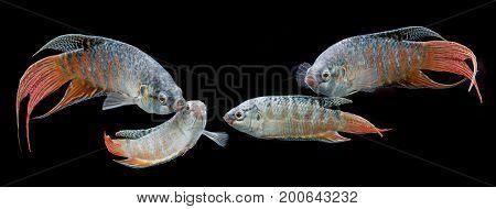 Paradise fish Forktail fightingfish Paradise fish Forktail fightingfish - aquarium fish