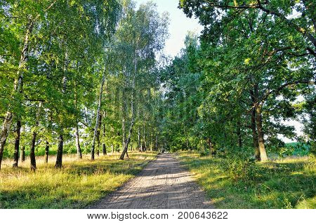 Сountry Road Among The Tall Trees In The Forest